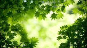 Nature___Other_Green_maple_leaves_076365_25